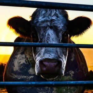 Cowspiracy der Film Umweltdoku Umweltschützer
