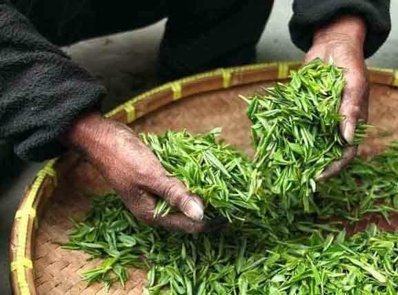 Matcha Tee Anbau