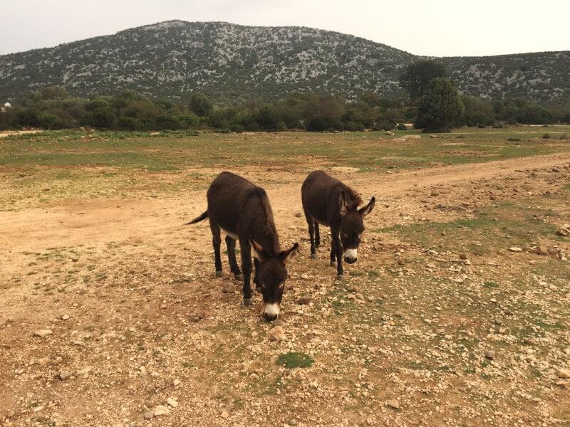 Wilde Esel Sardinien